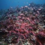 soldierfish школы Стоковые Фото