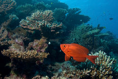 Soldierfish Stock Images