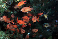 Soldierfish Royalty Free Stock Photos
