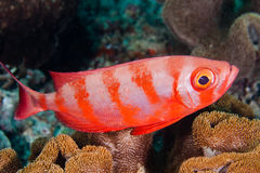 Soldierfish Stock Image