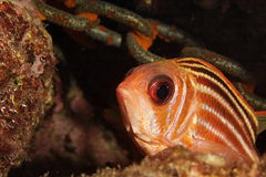 Soldierfish Royalty Free Stock Images