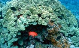 soldierfish Стоковое фото RF