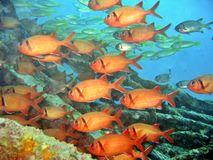 Soldierfish de Bigscale imagens de stock royalty free