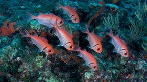 Soldierfish de Blackbar Fotos de archivo libres de regalías