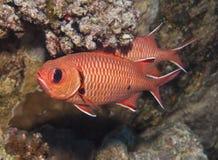 Soldierfish de Blotcheye en un arrecife de coral Fotografía de archivo