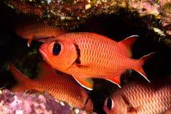 Soldierfish de Pinecone Imagen de archivo libre de regalías