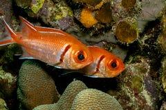 Soldierfish des Caraïbes de récif coralien Image stock
