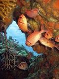 Soldierfish des Caraïbes Myripristis Jacobus Photos libres de droits
