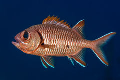 Soldierfish displaying spines Stock Photography