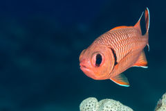 Soldierfish face on royalty free stock photo