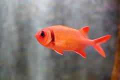 Soldierfish Grande-eyed imagen de archivo libre de regalías