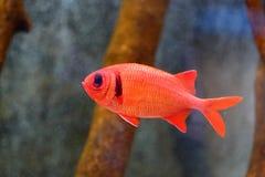 Soldierfish Grande-eyed imágenes de archivo libres de regalías