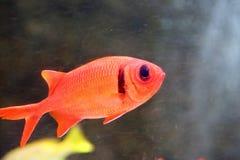 Soldierfish Grande-eyed imagenes de archivo
