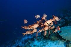 Soldierfish Myripristis Pralinia Royalty-vrije Stock Foto's