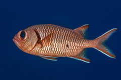 Soldierfish profile portrait royalty free stock photography