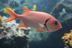 Soldierfish rojo Fotografía de archivo