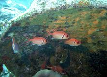 Soldierfish & Vriendenrust in de Luwtes van Schipbreukpuin stock foto's