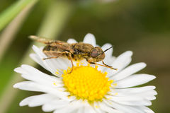 Soldierfly (Odontomyia sp.) Royalty Free Stock Images