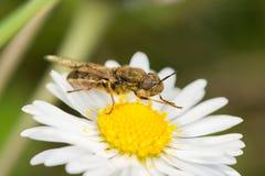 Soldierfly (Odontomyia SP etwas körniges) Lizenzfreie Stockbilder