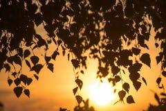 Sole arancio che splende tramite le foglie dell'albero di betulla fotografia stock libera da diritti