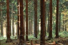 Sole attraverso la foresta del pino Fotografie Stock Libere da Diritti
