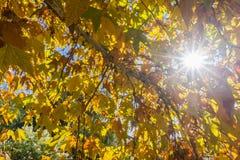 Sole che scoppia attraverso il fogliame variopinto di un albero occidentale del sicomoro (Platanus Racemosa), parco del boschetto fotografia stock