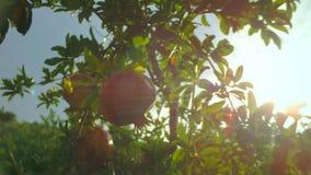 Sole che si trova sull'albero del granato dopo la pioggia archivi video