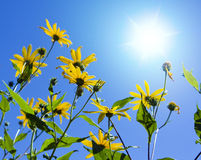 sole dei fiori Fotografia Stock