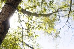Sole del cielo dell'albero di estate Fotografia Stock