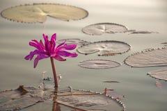 Sole del giglio di acqua di mattina Immagine Stock Libera da Diritti