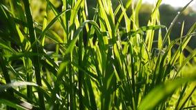 Sole del metraggio dell'erba verde il macro splende attraverso i bei precedenti delle foglie della molla Video che chiude macchin video d archivio