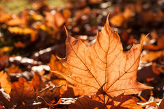 Sole della foglia di autunno Fotografia Stock Libera da Diritti