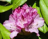 Sole della primavera ed il rododendro rosa Fotografia Stock Libera da Diritti