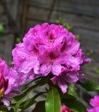 Sole della primavera ed il rododendro rosa Immagini Stock Libere da Diritti