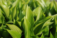 Sole delle foglie verdi di mattina Immagine Stock Libera da Diritti