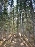 Sole di Colorado Rockies nella foresta fotografie stock libere da diritti