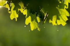 Sole di estate dell'albero del fondo Fotografia Stock Libera da Diritti