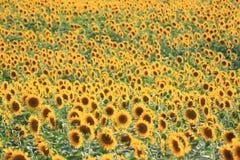 Sole di estate sopra il giacimento del girasole Immagine Stock