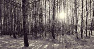 Sole di inverno nel legno Fotografia Stock