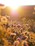 Sole di Phacelia di mattina immagini stock libere da diritti