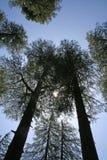 Sole di pigolio attraverso gli alberi di pino giganti alti fotografia stock