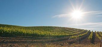 Sole di primo mattino che splende sulle vigne di Paso Robles nel Central Valley di California U.S.A. Immagine Stock