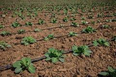 Sole di verdure dell'azienda agricola del campo del cavolo in primavera Fotografia Stock Libera da Diritti