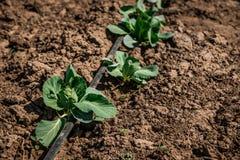 Sole di verdure dell'azienda agricola del campo del cavolo in primavera Dettaglio delle foglie Immagine Stock