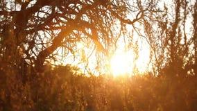 Sole dorato che splende attraverso i rami di albero del deserto video d archivio