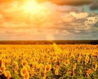 Sole dorato di estate sopra i giacimenti del girasole Fotografia Stock