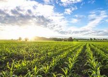 Sole e cielo blu del campo di mais di mattina Immagine Stock Libera da Diritti