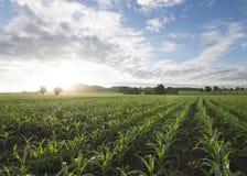 Sole e cielo blu del campo di mais di mattina Immagini Stock Libere da Diritti
