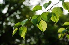 Sole e foglie Immagine Stock Libera da Diritti