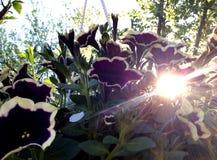 Sole in fiori fotografia stock libera da diritti